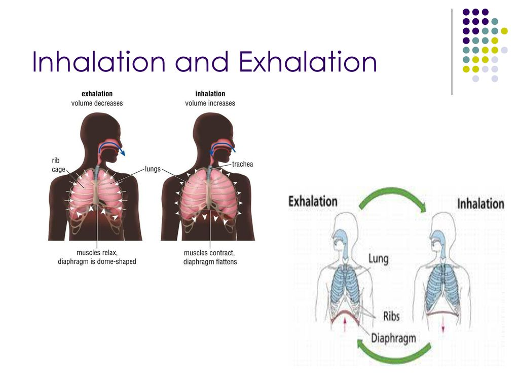 The Respiratory System Ppt Download Inhalation Exhalation Diagram Of Diaphragm 10 And