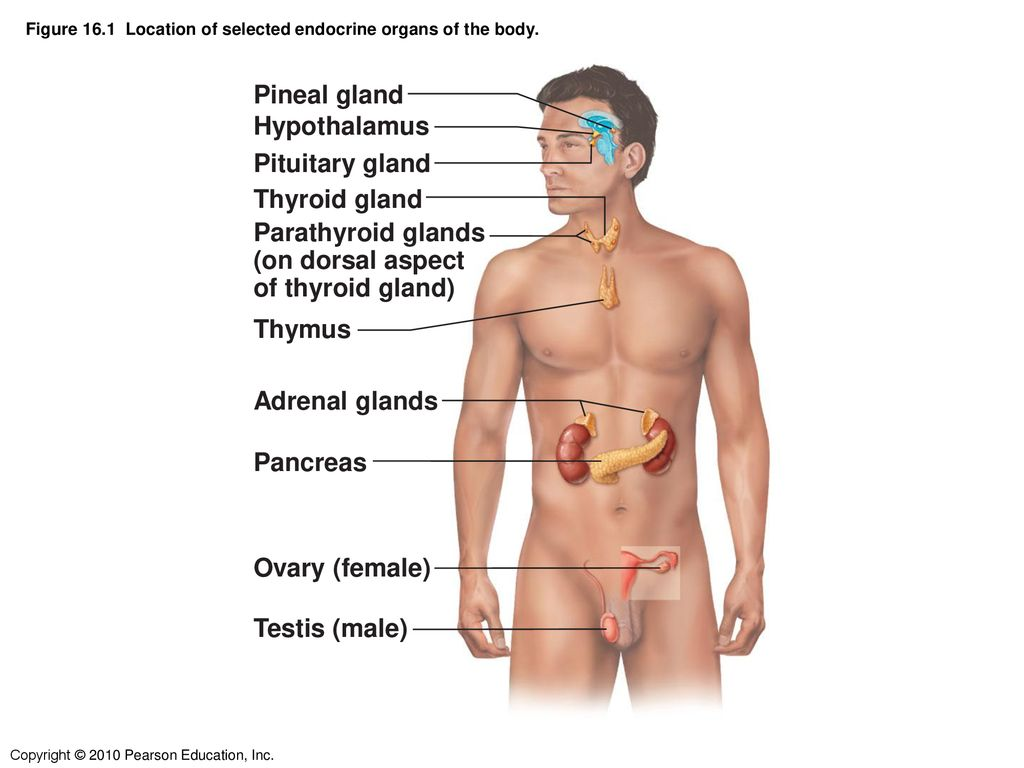 Figure 161 Location Of Selected Endocrine Organs Of The Body Ppt