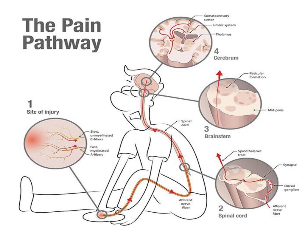 Image result for pain receptors in brain