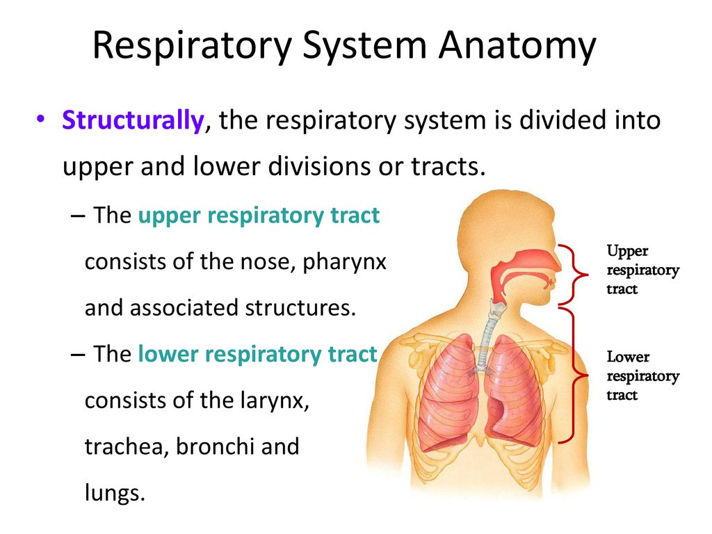 The Respiratory System Ppt Download
