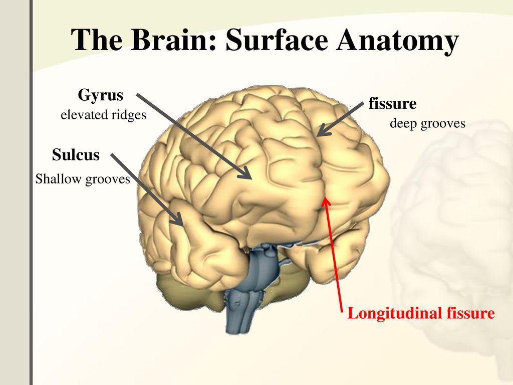 The Central Nervous System - ppt download