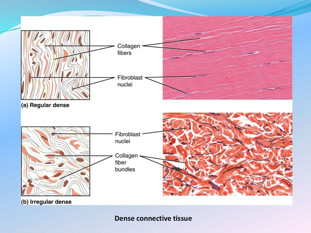 topic 3: connective tissues - ppt download
