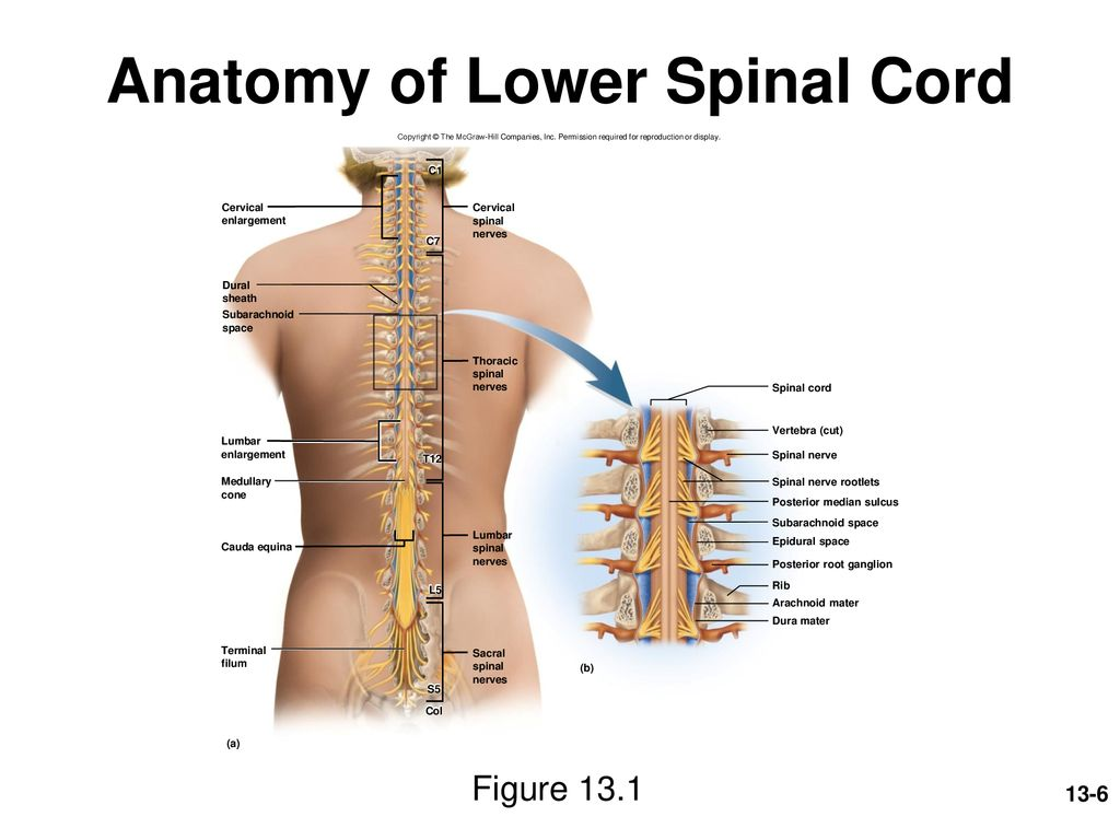 Spinal Cord Spinal Nerves And Somatic Reflexes Ppt Download