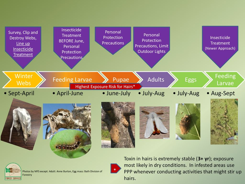 Browntail Moth Background - ppt download