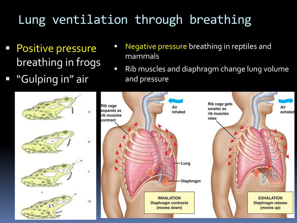 Respiration And Gas Exchange Ppt Download Inhalation Exhalation Diagram On Inhaling Exhaling Lung Ventilation Through Breathing