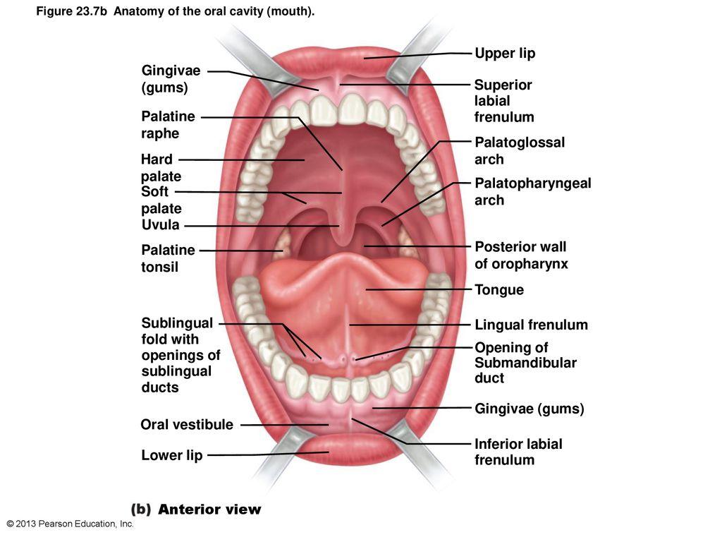 Palatine Tonsil Lingual Raphe Tollebild