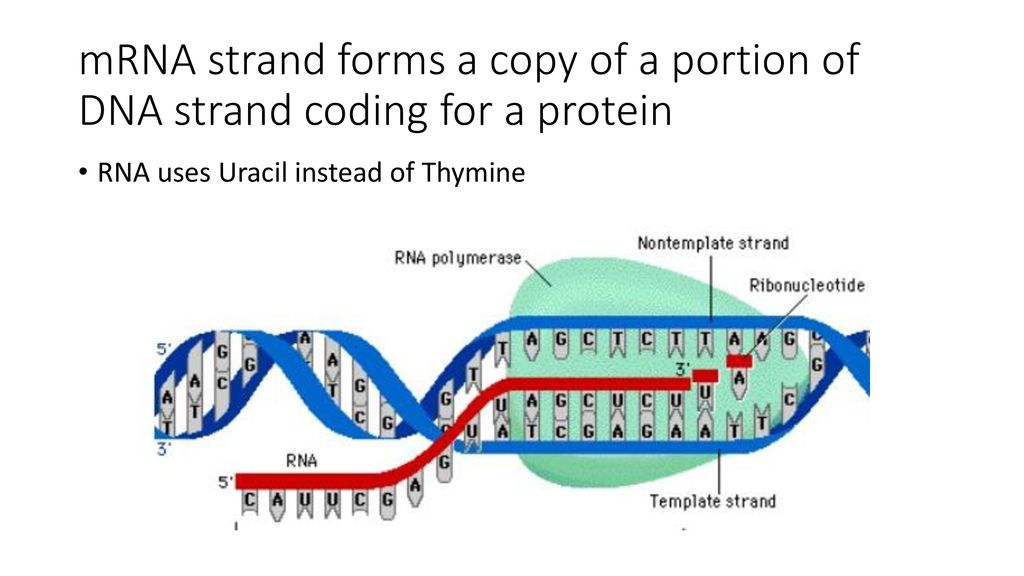 Gene Expression From Code To Protein Ppt Download