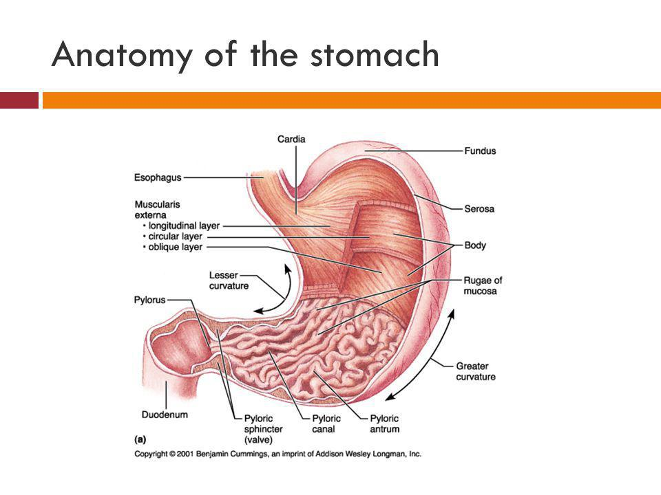 Performing a barium meal ppt video online download 4 anatomy ccuart Choice Image