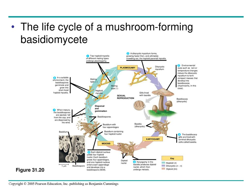 Chapter 31 Fungi  - ppt download