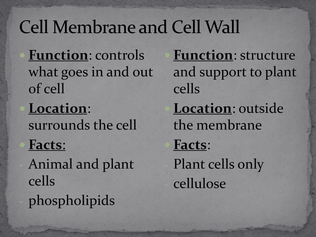 Organelles Just Like The Human Body Has Organs Each Of Which Facts On Plant Cells Cell Only Cellulose Membrane And Wall