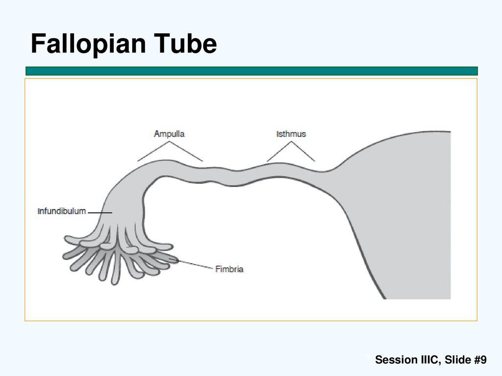 9 fallopian