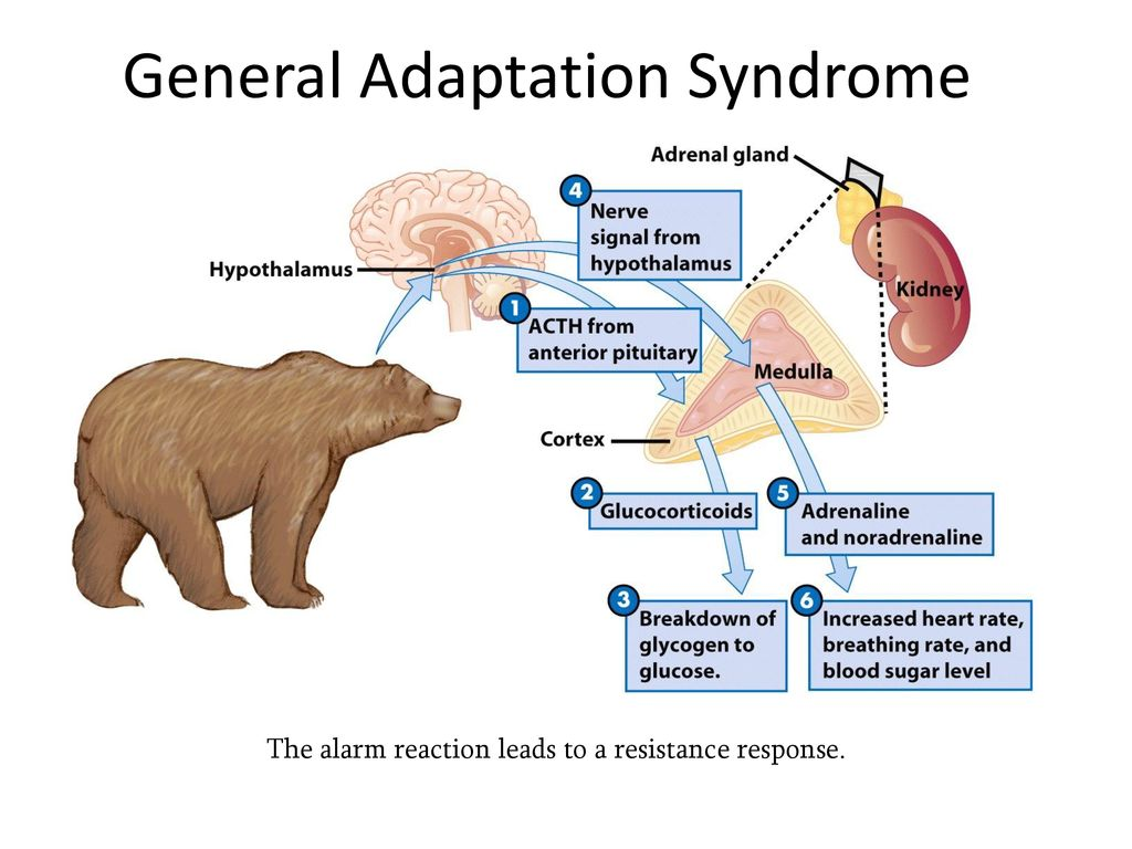 the three successive phases of the general adaptation syndrome are