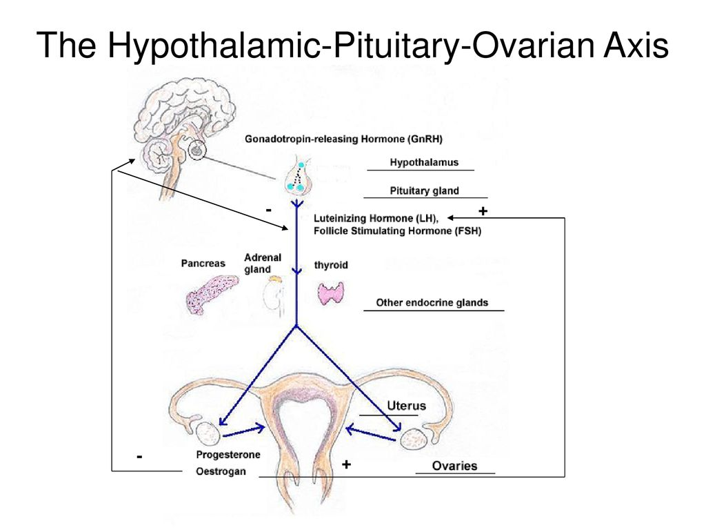 The Hypothalamic-Pituitary-Ovarian Axis