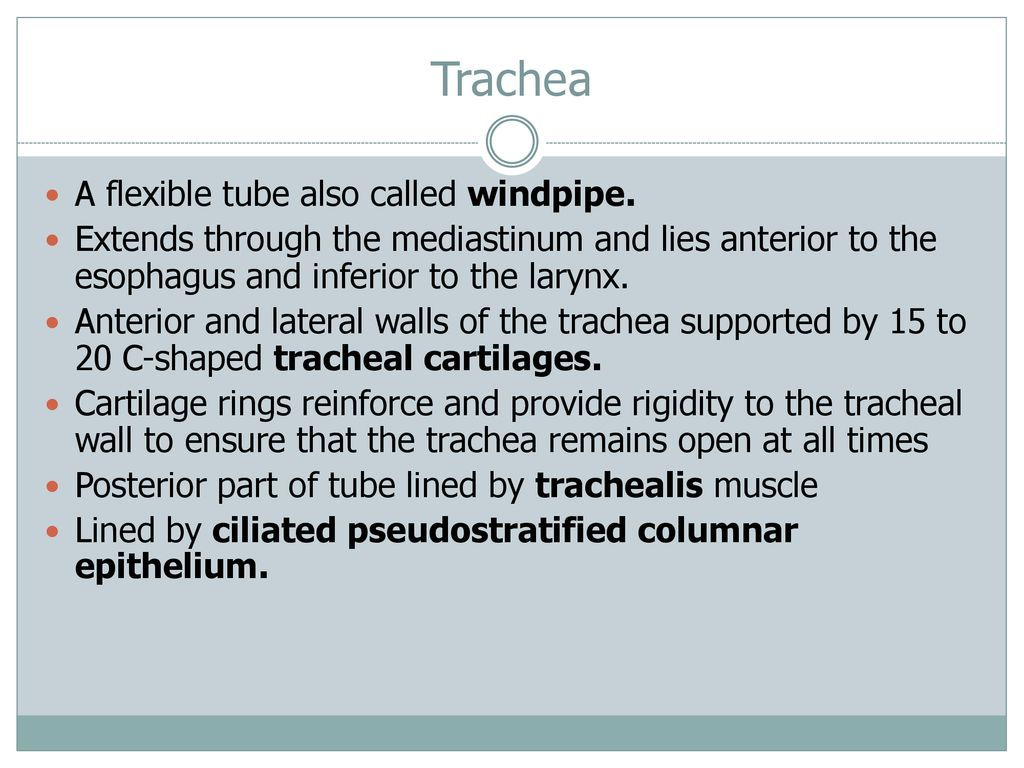 where the trachea bifurcates it is reinforced by a cartilaginous plate called