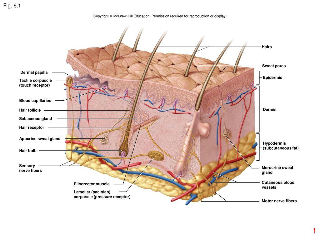 6 1 hairs sweat pores dermal papilla epidermis tactile corpuscle