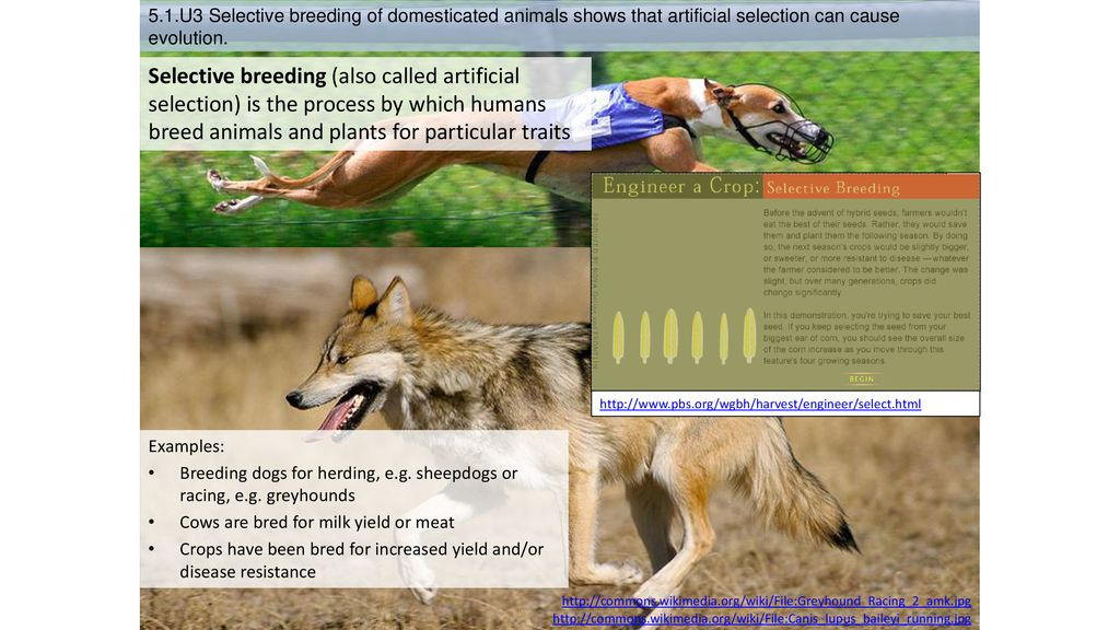 5 1 U3 Selective breeding of domesticated animals shows that
