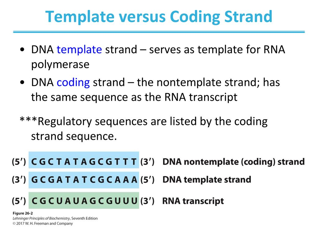 Template versus Coding Strand
