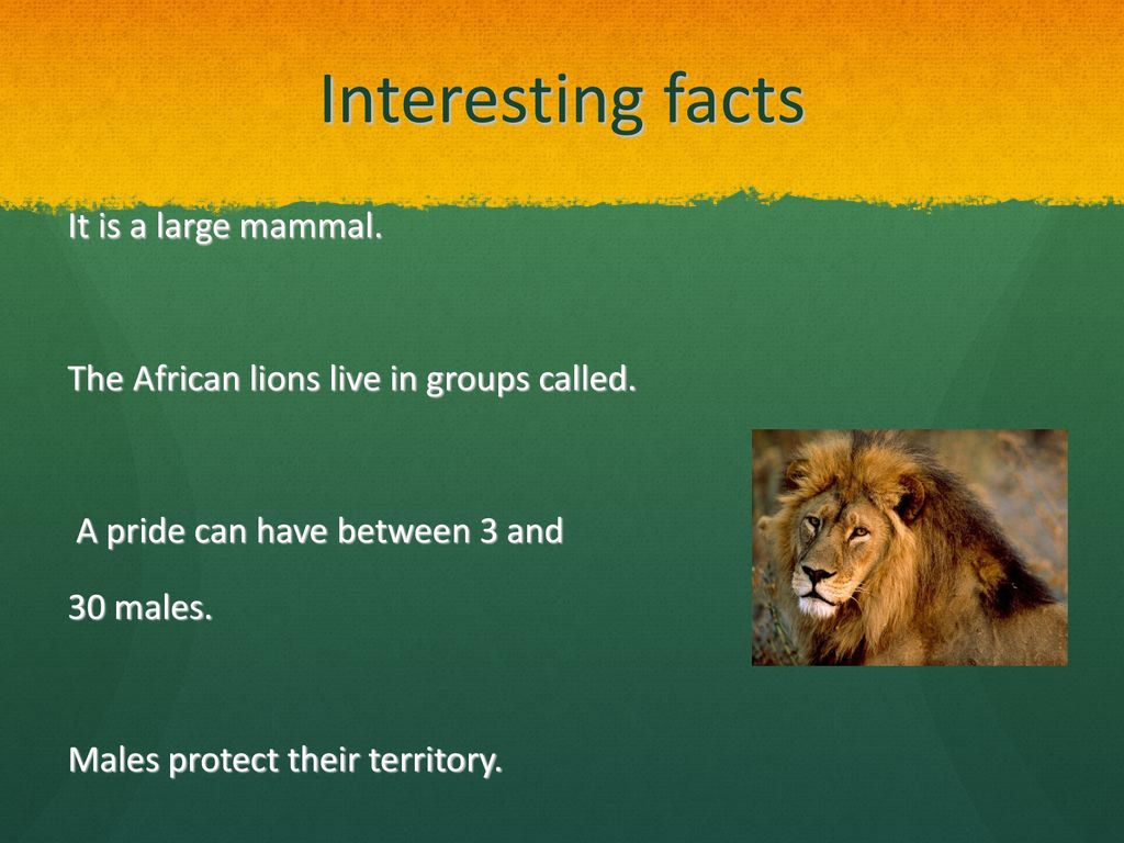 AFRICAN LION BY CHRISTIAN  - ppt download