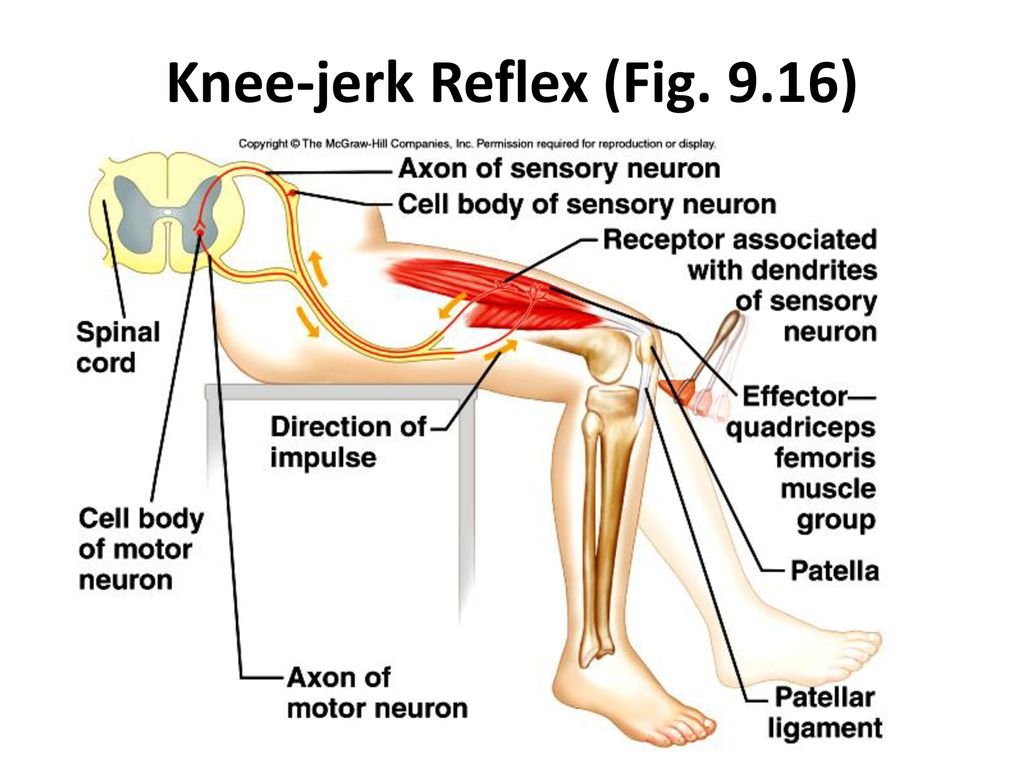 Reflex Arcs Nerve impulse pathways that are responsible for