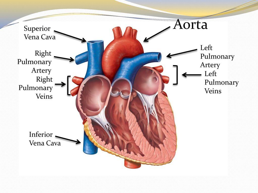 Heart Part Ppt Download