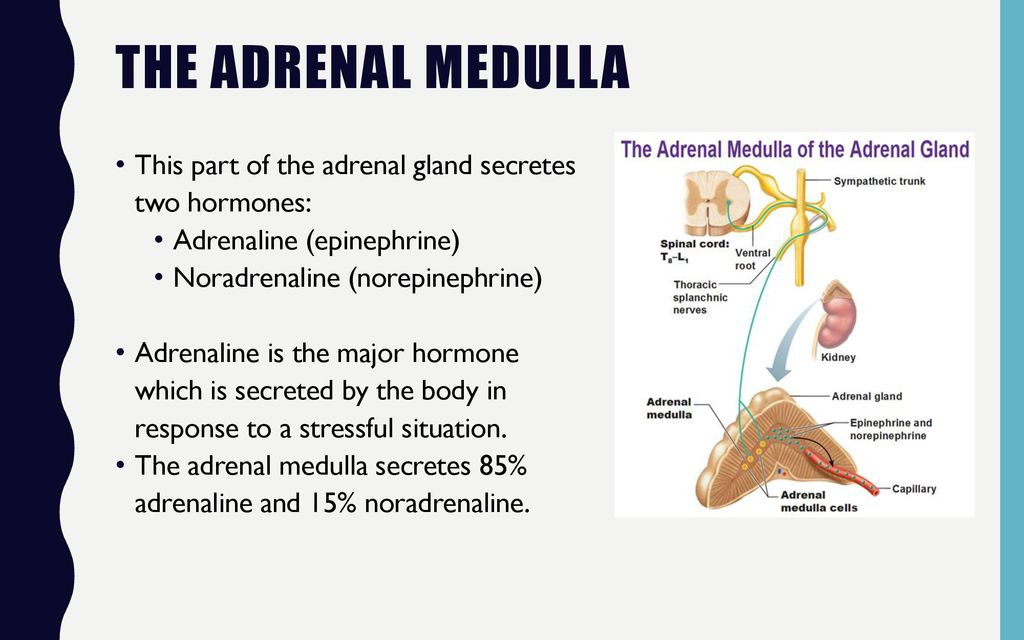 The Adrenal Glands and Stress - ppt download