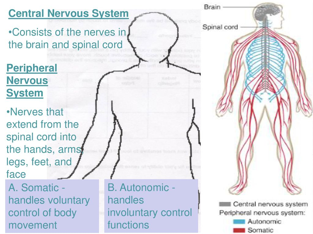 Regulation In The Human Body The Nervous And Endocrine Systems Ppt