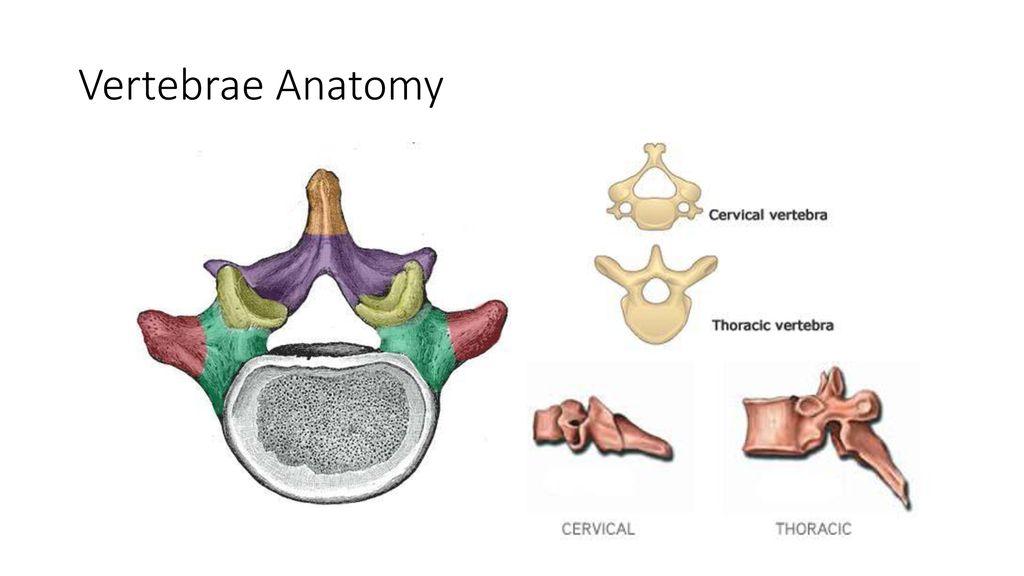 Cervical Thoracic Spine Ppt Download