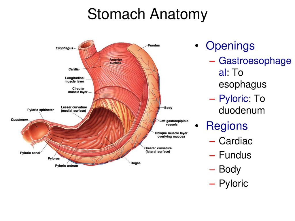 Stomach Anatomy Openings Regions Gastroesophageal To Esophagus