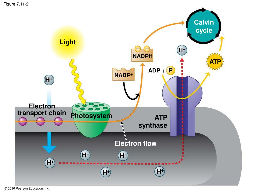 photosynthesis: using light to make food - ppt download