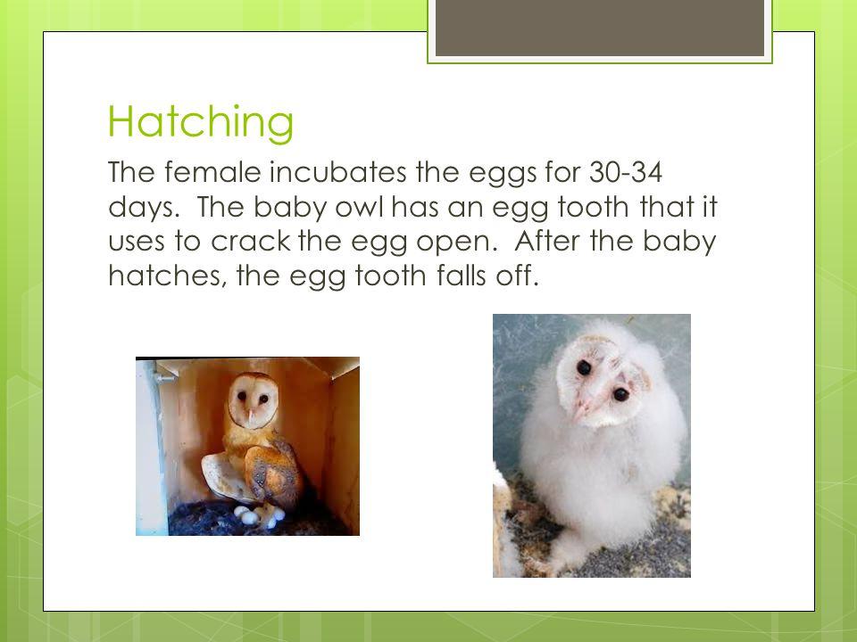 A Crazy Wonderful Owl Family NO Background