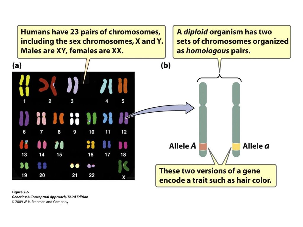 Genetics: A Conceptual Approach © 2009 W. H. Freeman and Company - ppt  download