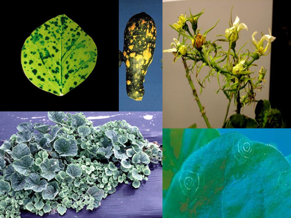 Viruses Are Another Very Common And Important Cause Of Plant Diseases