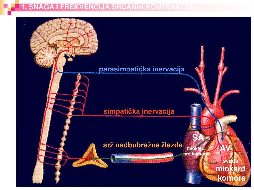 A. V. Šcheglovo hipertenzija