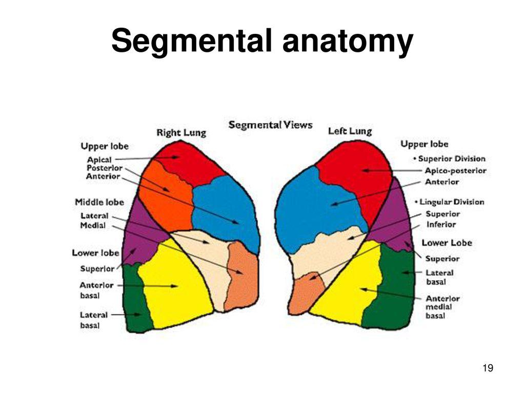 Pulmonary Segmental Anatomy Topsimages