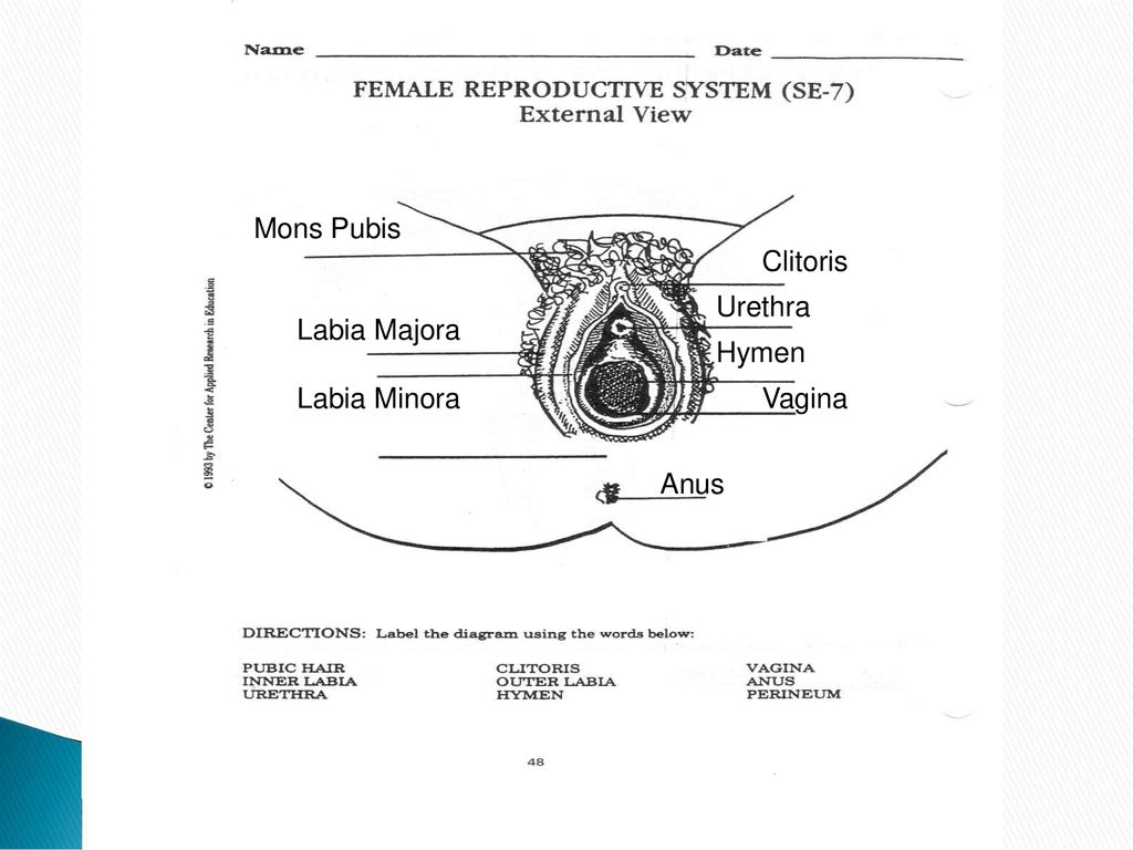 Female Reproductive System External Genitalia Ppt Download