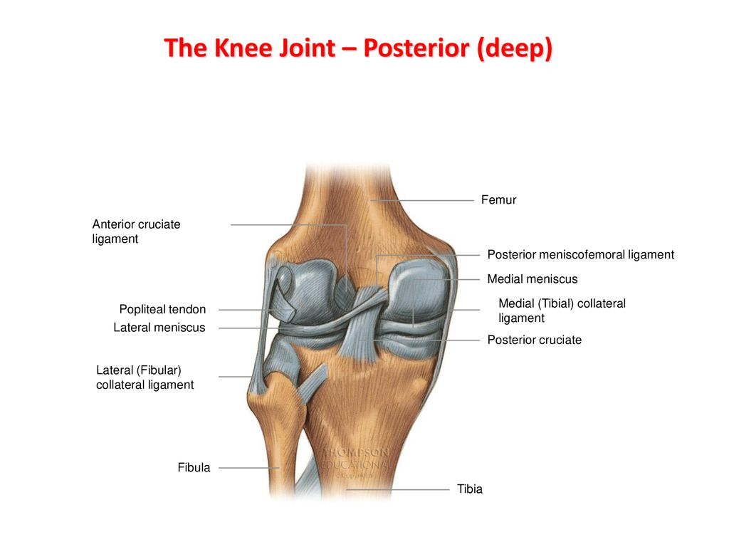 The Knee Joint Ppt Download