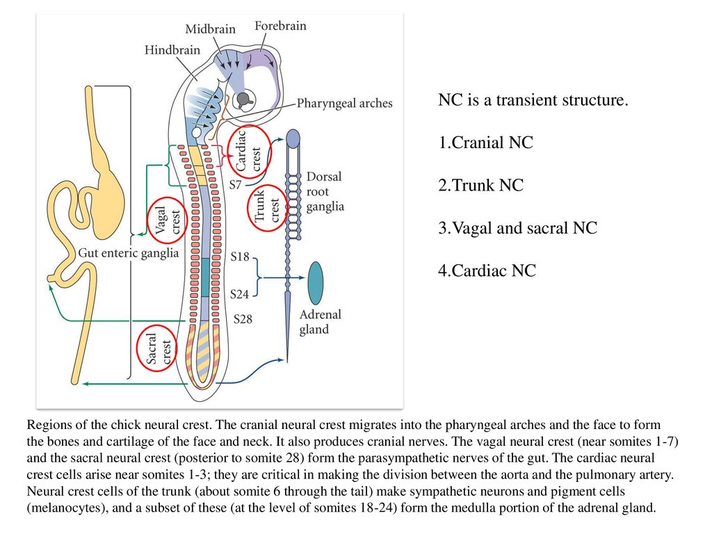 interconnected intrinsic cardiac ganglia - HD 1024×768