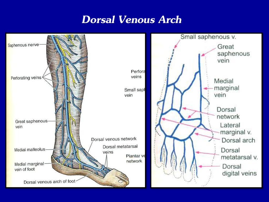 Venous Drainage And Lymphatics Of Lower Limb Ppt Download