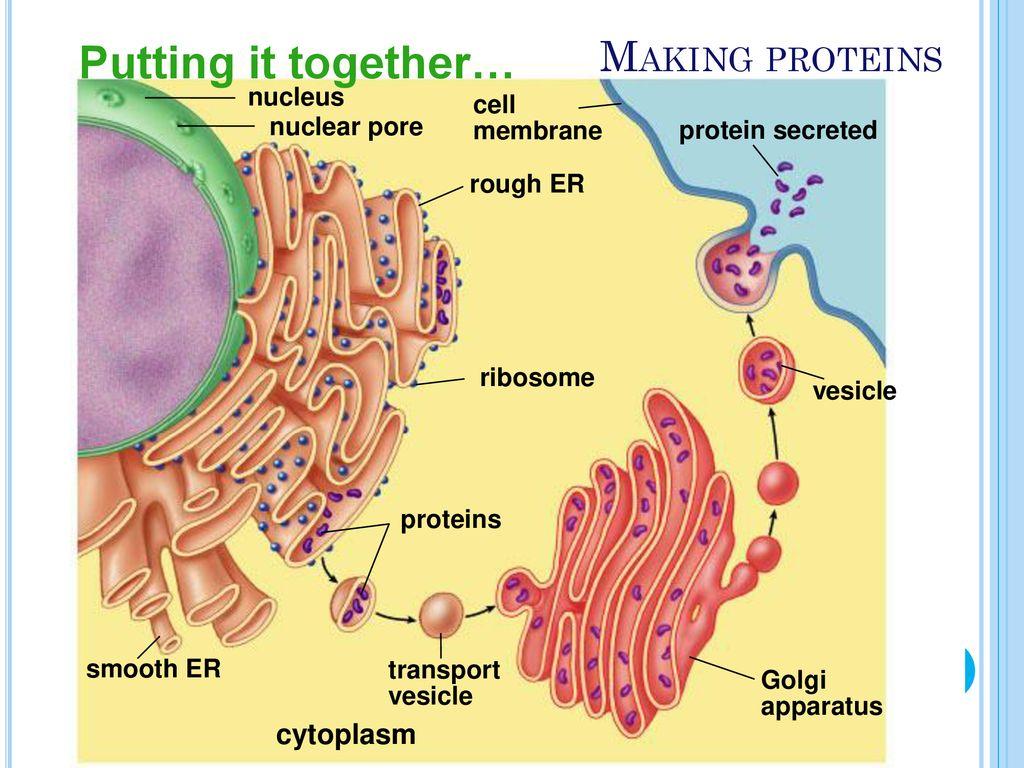 Endoplasmic Reticulum Golgi Apparatus Lysosomes Vacuoles
