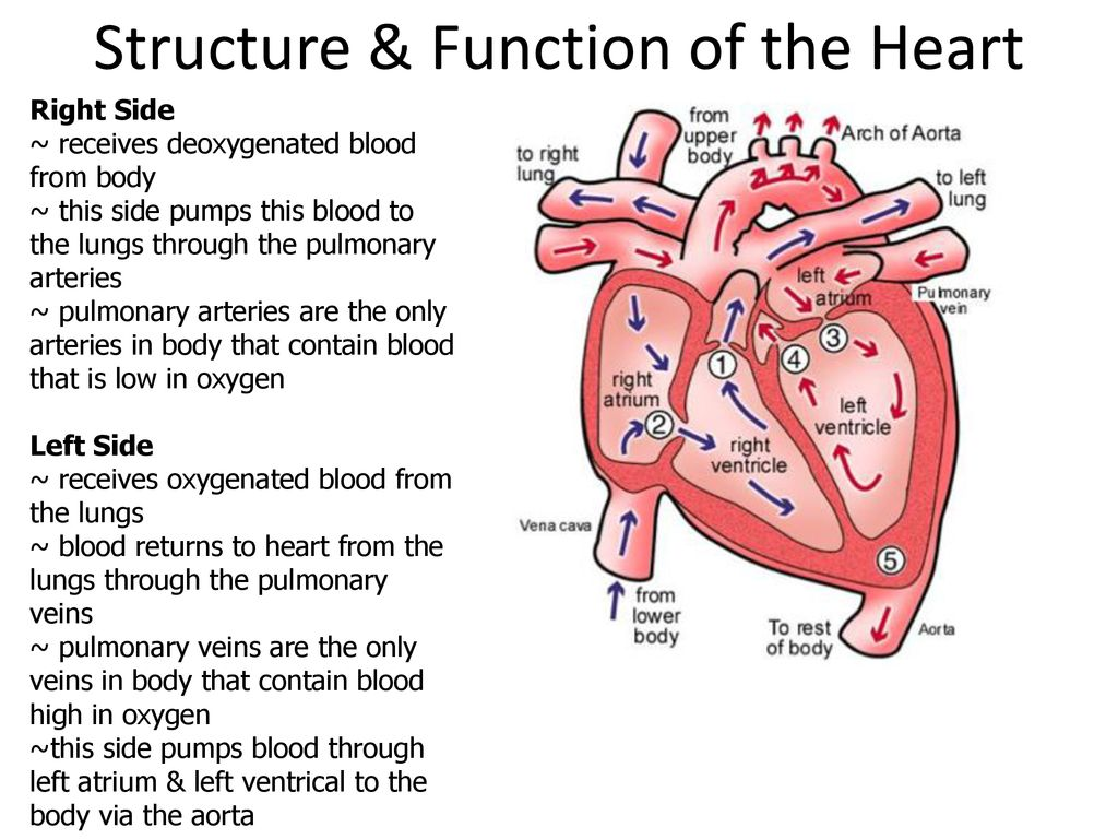 Structure Function Heart Ppt Download