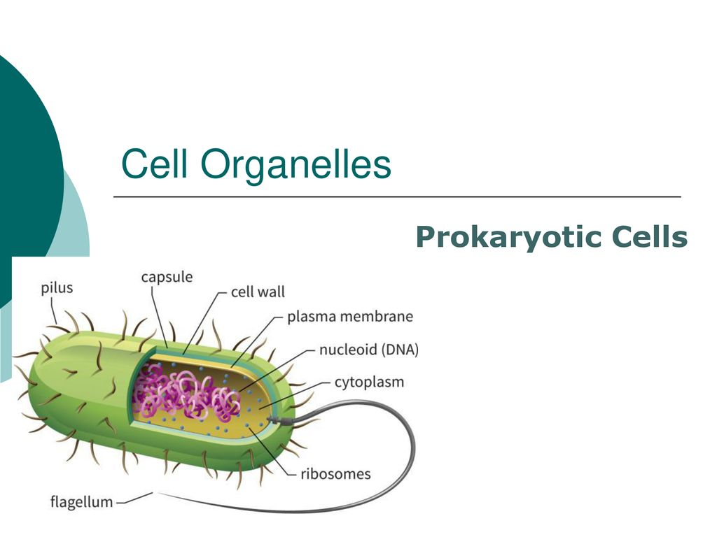 Cells The Basic Units Of Life Ppt Download Fimbriae Prokaryotic Cell Edition 44 Organelles
