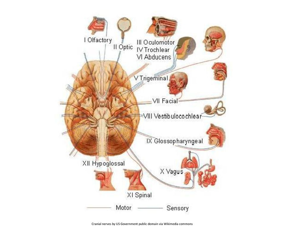 Cranial nerves by US Government public domain via Wikimedia commons