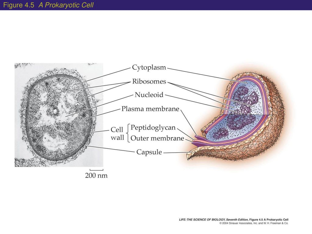 Cells The Basic Units Of Life Ppt Download Fimbriae Prokaryotic Cell Edition 17 Figure 45 A