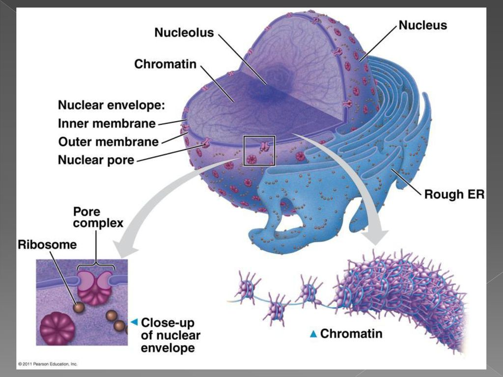 A Tour Of The Cell Unit 2 Chapter Ppt Download Nucleus Contains Dna Within Double Membrane 6 Function Control Center Surrounded By Nuclear