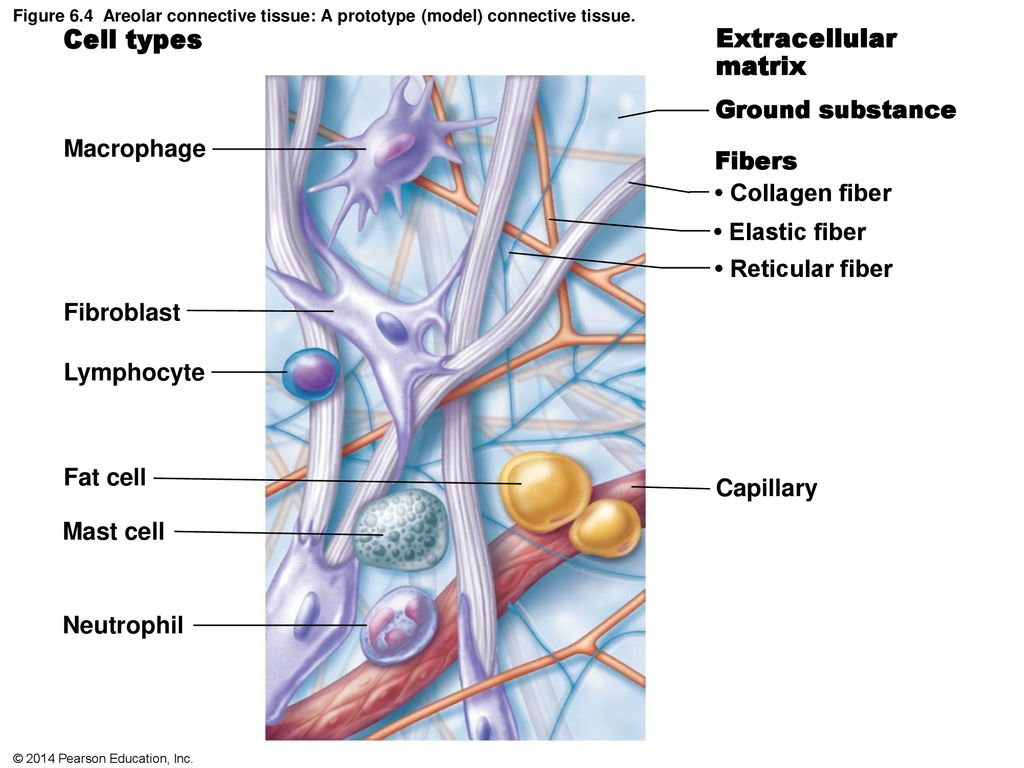 figure 6.1 classification of epithelia. - ppt download