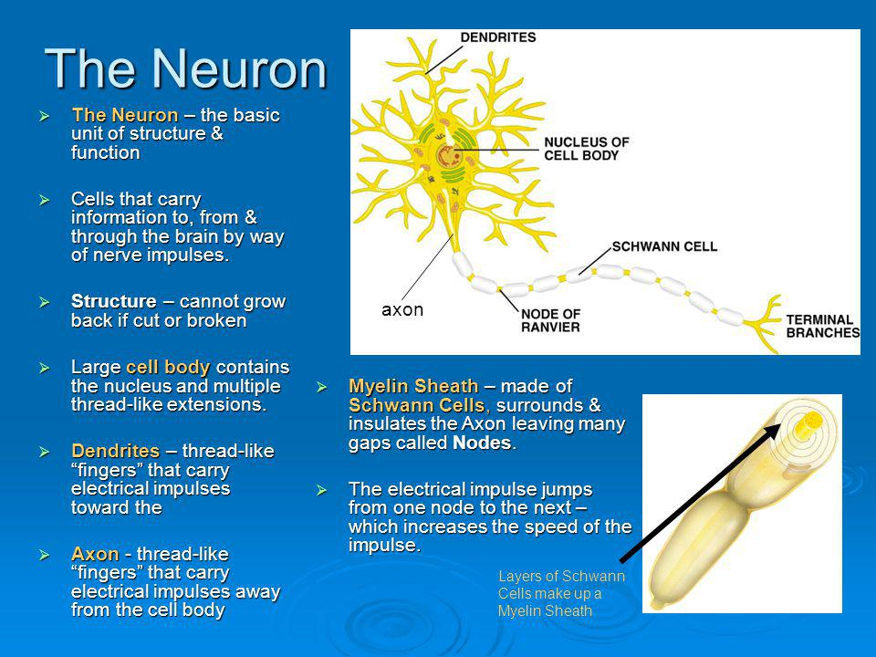 The Neuron The Neuron – the basic unit of structure & function