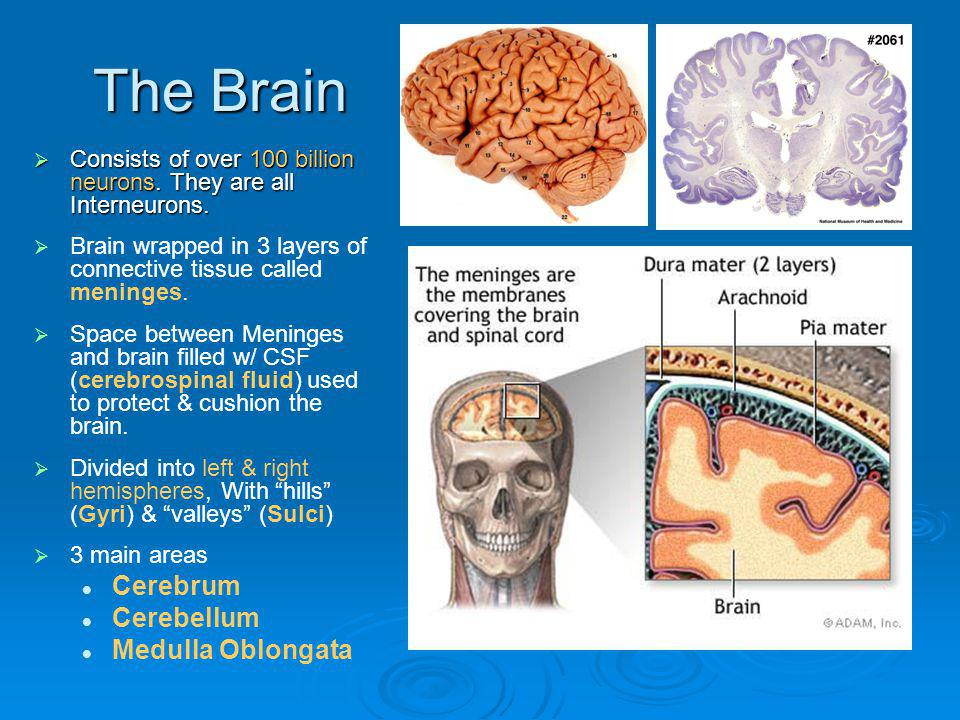 The Brain Cerebrum Cerebellum Medulla Oblongata