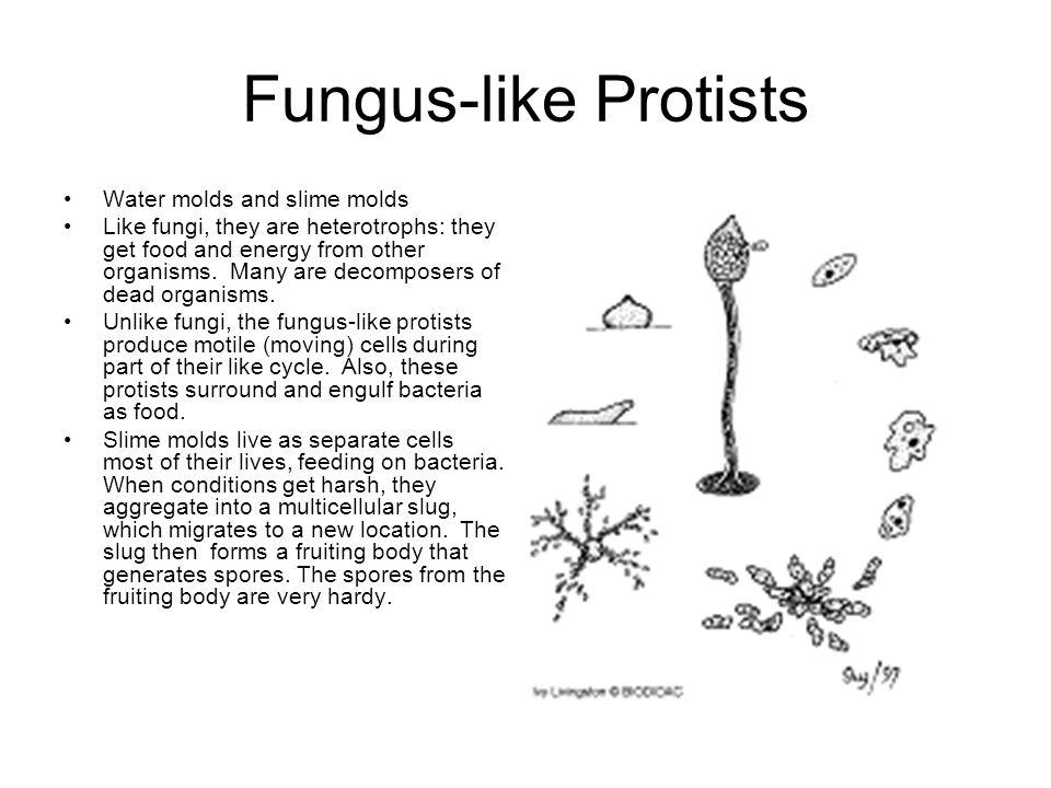 protists protists are single celled eukaryotes a few forms are rh slideplayer com plant like protist plant like protists examples
