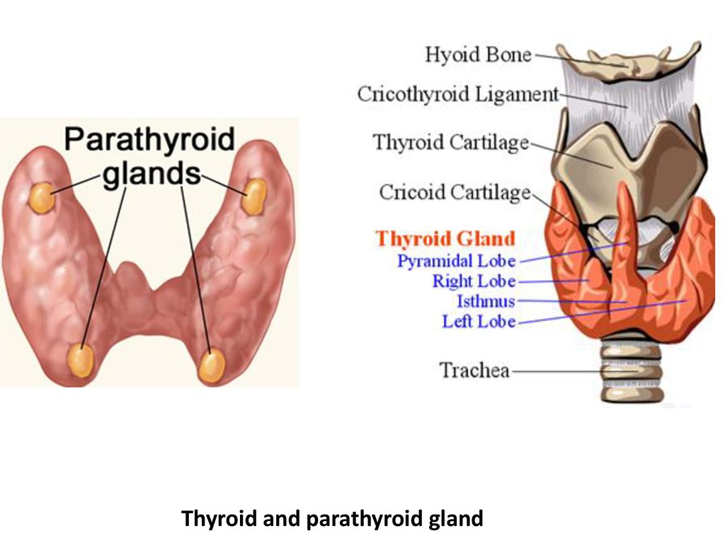 Embryology And Histology Of Thyroid And Parathyroid Glands Ppt