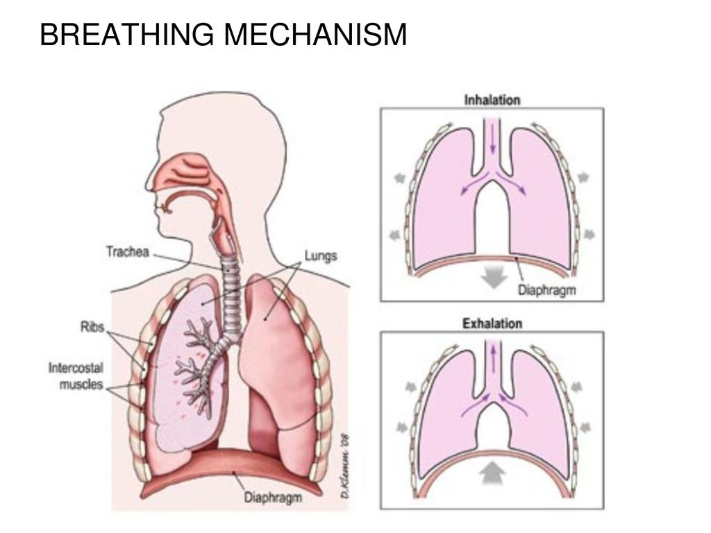 Respiratory System Link Ppt Download Diagram Of Inhalation And Exhalation The Mechanism Breathing 26